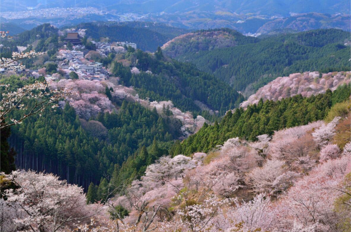 Japan_sakura