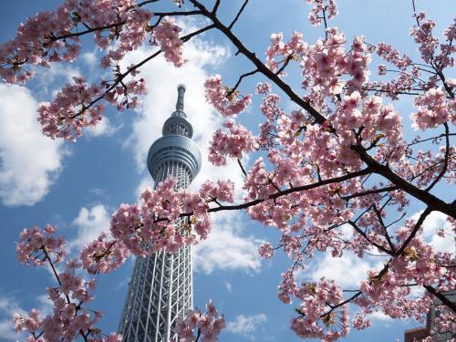 Japan_sakura3