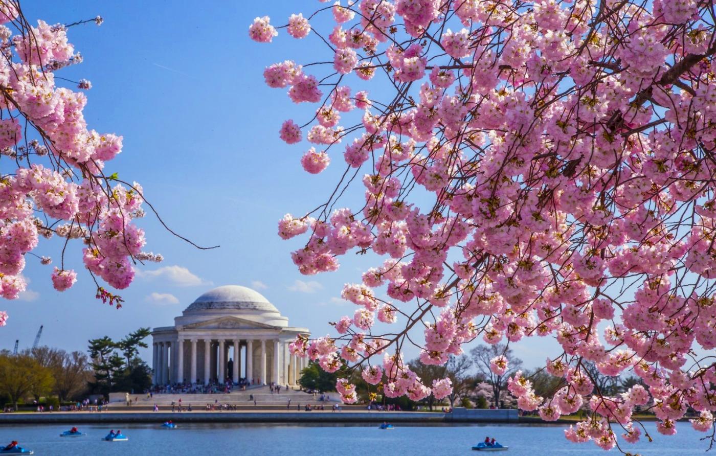 Cherry Blossom_DC1