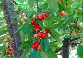 Brentwood-Cherry_5